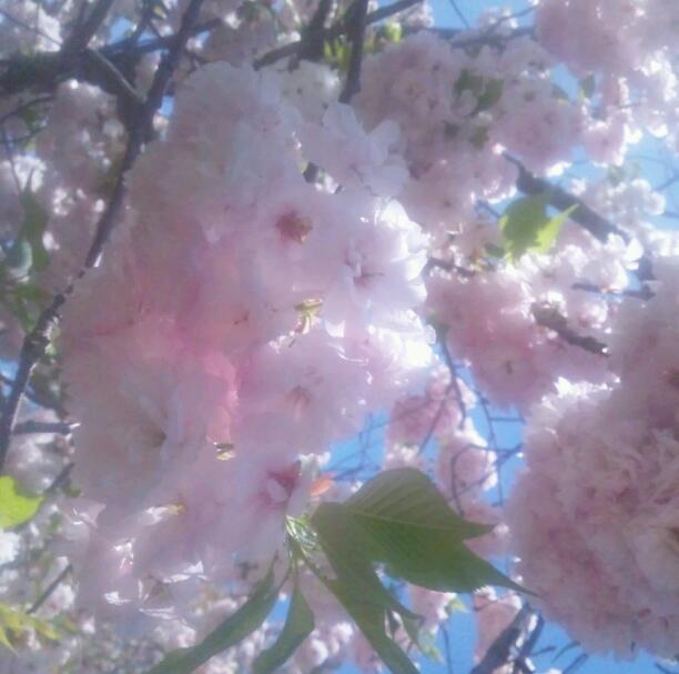 2012年の桜〜SHAMA NIPPON 〜